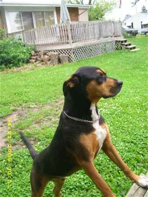 catahoula rottweiler mix pin catahoula leopard skylar medium for sale on