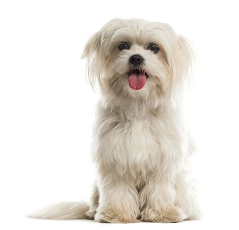 maltese poodle lifespan 15 breeds that a lifespan and live a