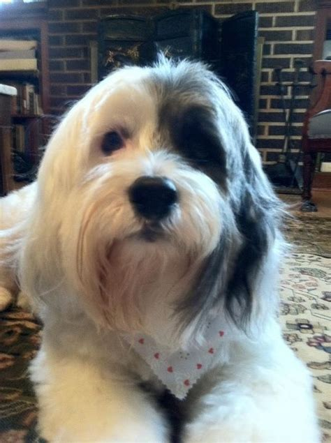 best cuts for tibetan terrier 17 best images about if i ever decide to get another pet