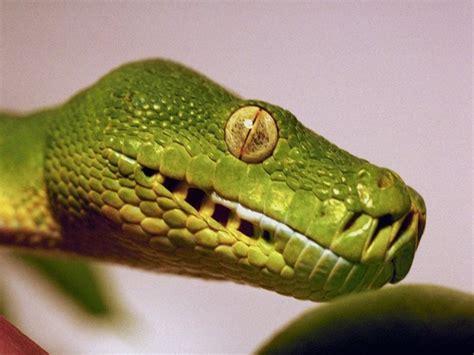imagenes asombrosas de serpientes im 225 genes de serpientes fotos de reptiles fotos e