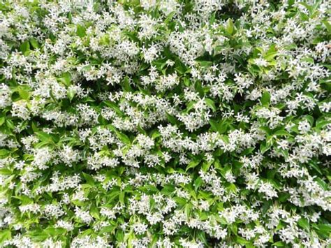 cura gelsomino in vaso gelsomino jasminum come potare il gelsomino cura e