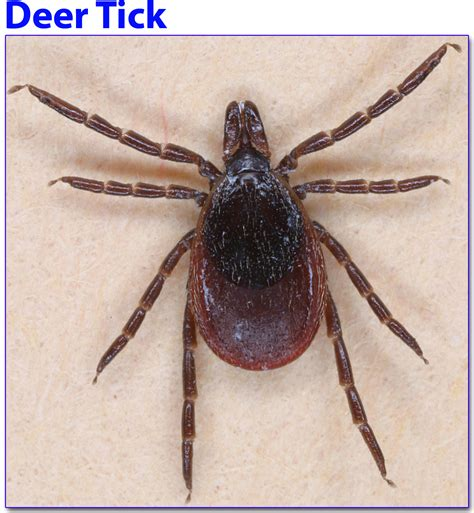 ticks in house ticks in house 28 images zeus and honey tick bomb