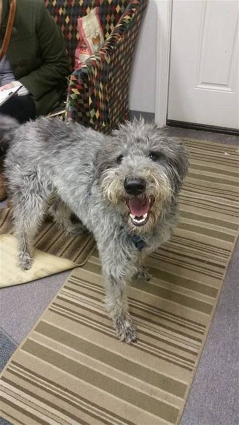 puppies for adoption anchorage labradoodle for adoption in anchorage ak adn 426185 on puppyfinder gender