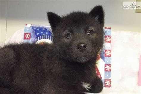 black wolf hybrid puppies for sale black wolf hybrid puppies for sale breeds picture