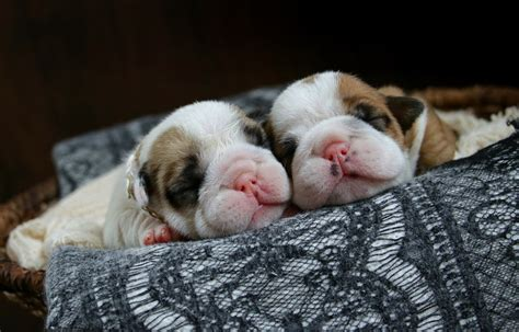 how many puppies do bulldogs newborn bulldog puppies