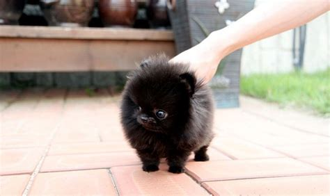 pomeranian kills baby 25 best ideas about teacup pomeranian on teacup pomeranian puppy