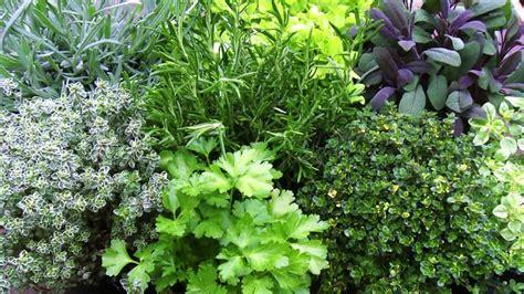 piante aromatiche in giardino come coltivare il mirto il re della macchia mediterranea