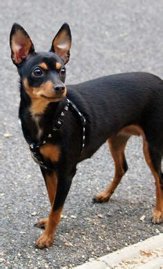 miniature pinscher puppies for sale in pa keystone puppies eddie miniature pinscher puppies for sale in pa