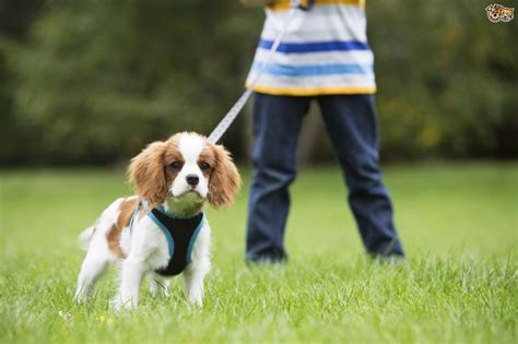 puppy walking walking a reactive on the lead pets4homes