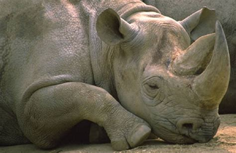 Rhino Horn – Why Is It So Valuable?