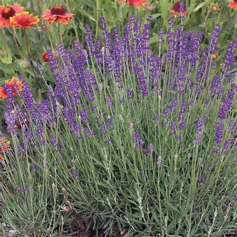 1 pack benih lavender seed lavender seeds
