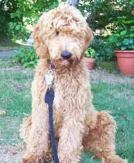 mini goldendoodle traits 17 best ideas about goldendoodle temperament on