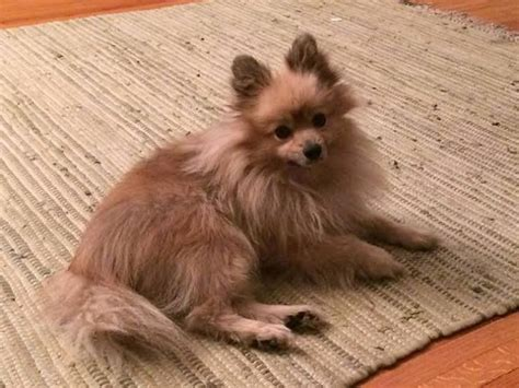 pomeranian rescue ohio pin by kristin scrougham on petfinders friends
