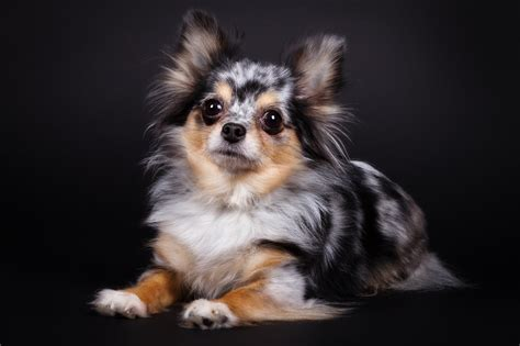 blue merle chihuahua puppies 1000 images about merle hair chihuahuas on