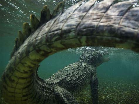 photo d un crocodile sous l eau