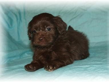 yorkies for sale in baton teacup tiny maltipoo puppies for sale in baton louisiana breeds picture