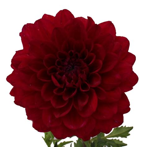 burgundy shadow dahlia flower