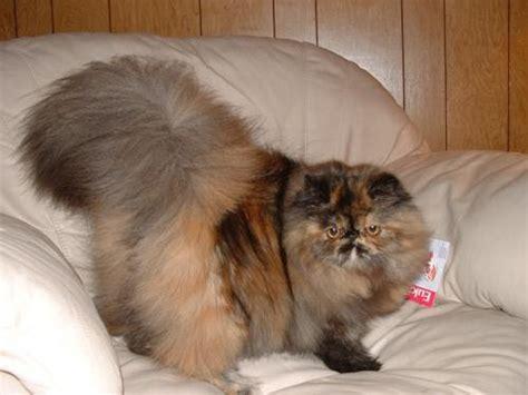 Sho Kucing Paling Murah semut setrezzzzz daftar kucing termahal