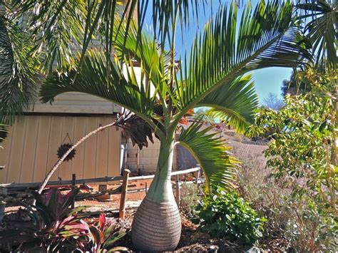 California Palm Hang Outs Capistrano Coconut plantfiles pictures bottle palm hyophorbe lagenicaulis by palmbob