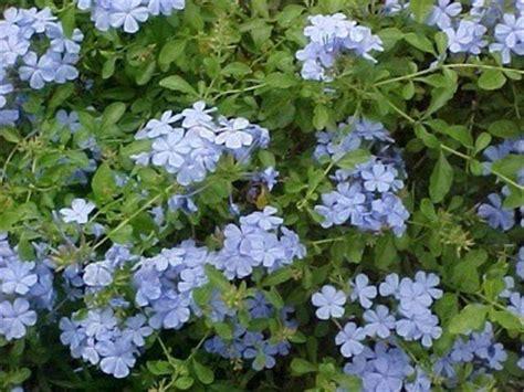 blue flowering shrubs in florida growing a plumbago thriftyfun