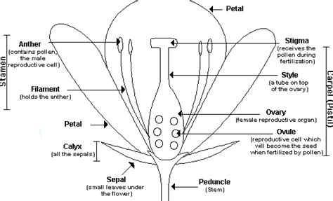 flower diagram labeled flower dissection lab
