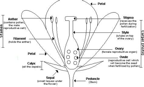 plant reproduction diagram flower dissection lab