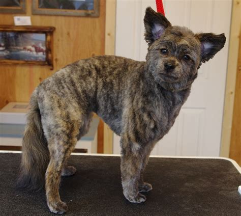how to trim cairn face dog grooming eldy s art