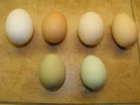 colored chicken eggs light brahma singing bull ranch