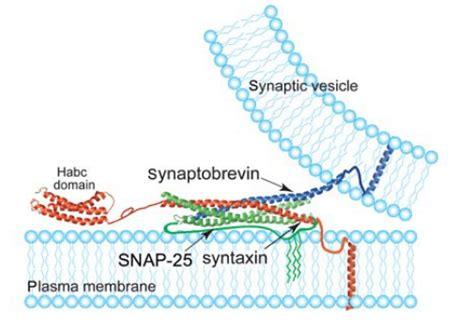 n protein factor custom mempro soluble n ethylmaleimide sensitive factor