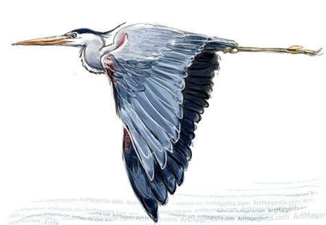 what color is heron great blue heron clipart pencil and in color