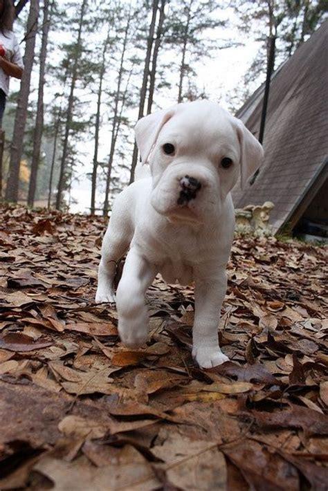 white boxer puppies white boxer puppy popular boxer names puppys boxers and boxer puppies