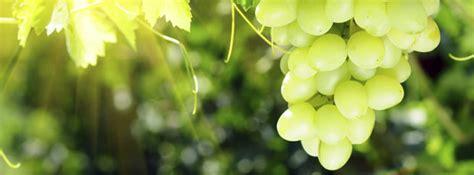 vite uva da tavola notizie agricoltura su vite per uva da tavola agronotizie