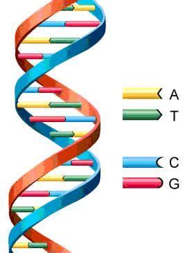numero de cadenas en el adn y arn la biolog 237 a molecular y celular importante factor en la