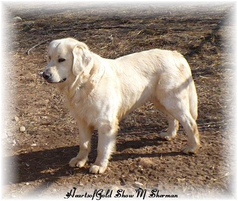 golden retrievers wisconsin golden retriever wisconsin retriever breeder appleton breeds