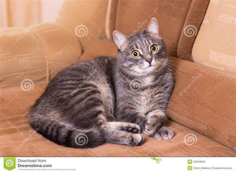 cat on a couch domestic cat on a sofa stock images image 34819004