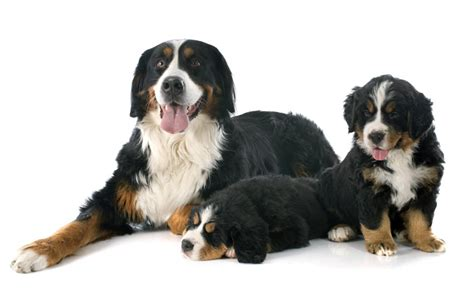 when should puppies get should i get a puppy or an choosing the right for you dogs guide