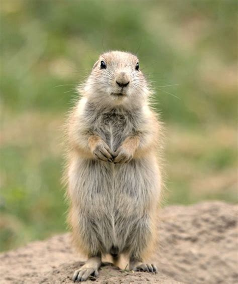 pictures of prairie dogs best 25 prairie dogs ideas on