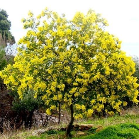 pianta mimosa in vaso mimosa d inverno acacia dealbata