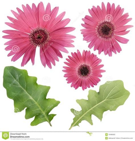 Set Pink Flowery pink gerbera flower and leaves set stock image image