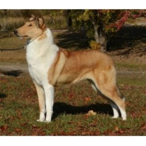 collie puppies for sale in nc collie breeders in carolina freedoglistings