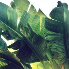 banana palm wallpaper australia 1000 images about palms on pinterest palms palm trees