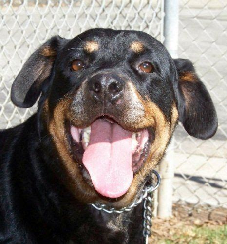 rottweiler rescue northern ca 246 best images about animals in california on chihuahuas adoption and