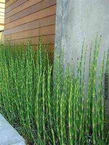 Outdoor Patio Sun Shade Temperate Equisetum Water Bamboo Kens Nursery