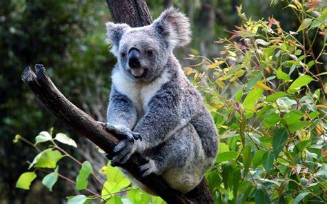 green koala wallpaper koala wallpapers wallpaper cave