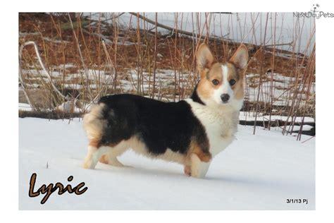 puppies for sale in binghamton ny corgi puppy for sale near binghamton new york 0ee827f0 1b11