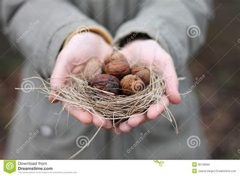Holding The Nuts walnuts royalty free stock images image 36136669