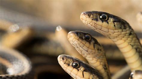 en este asombroso video podras ver la mayor concentracion de serpientes del mundo apareandose