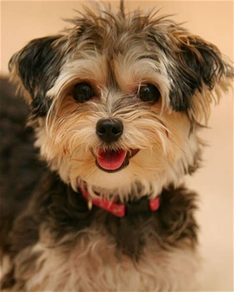 how to help yorkies mate 57 best images about on schnauzer puppy pet beds and mini schnauzer