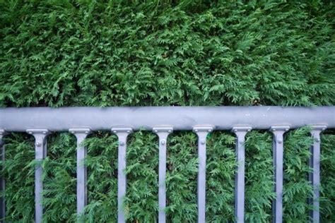 Scheinzypresse Pflege by Scheinzypresse 187 Pflanzen Pflegen Schneiden Und Mehr