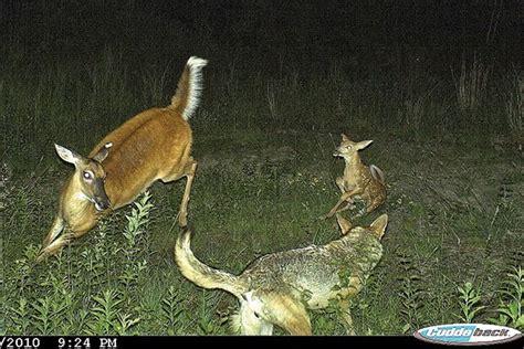 deer attacks coyote attack deer www pixshark images galleries with a bite